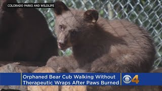 Therapeutic Wraps Come Off For Bear Found With Burned Paws In 416 Fire