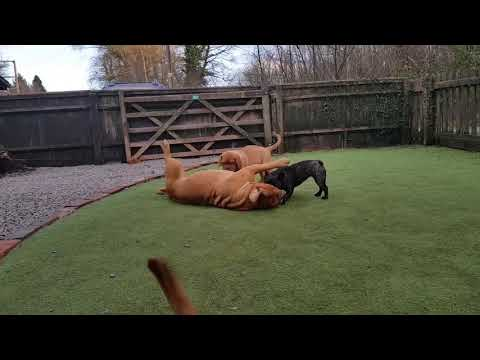 Crazy Cute Puppies Dogue de Bordeaux Dog playing French Bulldog