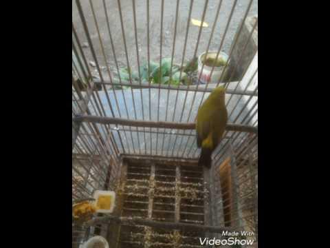 Suara Panggilan Burung Pleci Betina Memanggil Pleci Jantan Untuk Ngeces