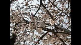 【演歌】歌ひとすじ 暁 美和 【公認】 Japanese Enka 【 song rey 】 miwa akatuki