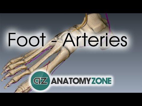 Foot Arteries - 3D Anatomy Tutorial