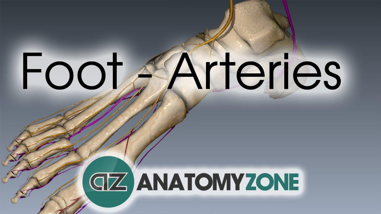 Foot Arteries 3d Anatomy Tutorial Youtube