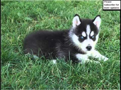 Black Siberian Husky Puppies Dog Breed Pictures