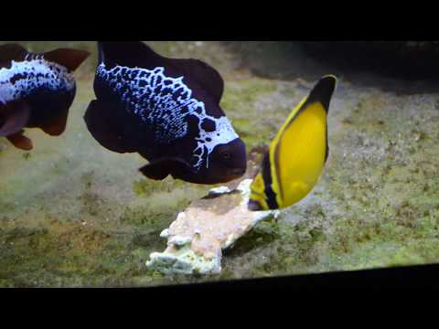 Arabian Butterflyfish, Chaetodon Melapterus, Eating Repashy Superfood
