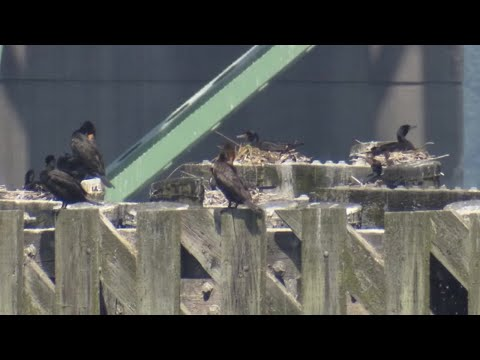 'We're getting concerned': Bird waste causing damage to major bridge on Oregon coast