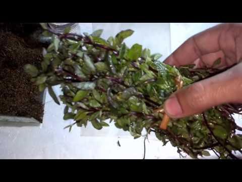 How To Grow Mint Indoors | Easy & Best Way To Grow (Urdu/Hindi)