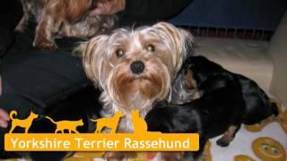 Yorkshire Terrier Welpen In Weener