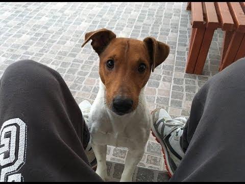 Keep Scratching (Playful Jack Russell Terrier)