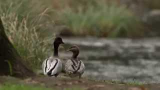 3.7 Australian Wood Duck (Game Duck Species)
