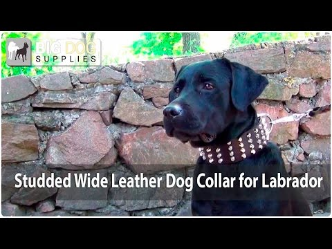 New Dog Style - Cool Black Labrador in Wide Leather Collar with Shining Studs