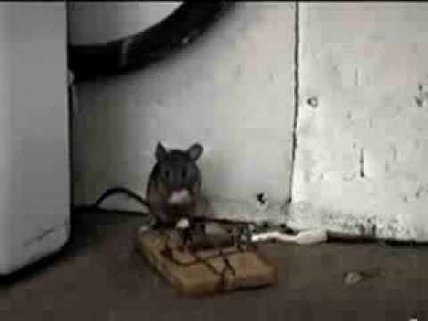 El ratón con mas suerte en el mundo