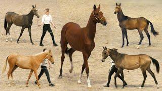 Ахалтекинские ДЕТКИ - ринг ГОДОВАЛЫХ жеребят. Чистокровные лошади Akhal-Teke выставка #ИППОсфера