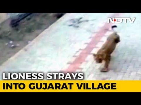 Lioness Strays Into Village; Captured In Amreli District Of Gujarat