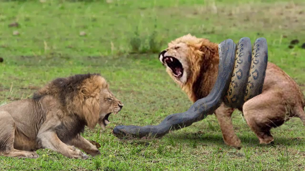 Big Cat Powerful Become Prey Of The Giant Anaconda – Lions vs Python, Leopard, Tiger