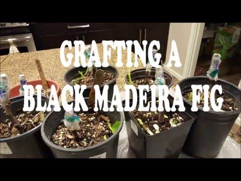 Grafting Black Madeira Fig onto Dessert King & Gillette Fig Rootstock