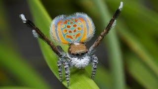 Peacock Spider 11 (Maratus pardus)