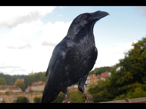 Talking Raven at Knaresborough Castle
