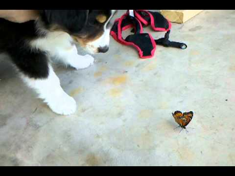 Oliver (the australian shepherd puppy) vs the Butterfly (2 of 2)