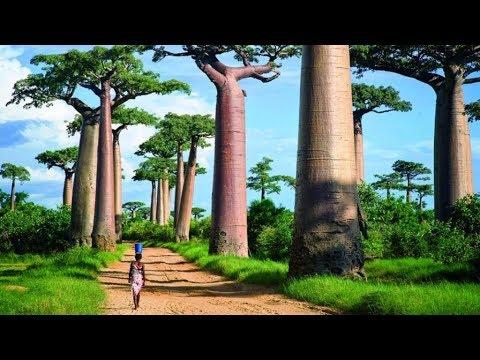 Деревья монстры. Аллея баобабов  Мадагаскар. Часть 8