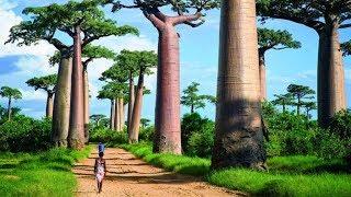 Деревья монстры. Аллея баобабов| Мадагаскар. Часть 8