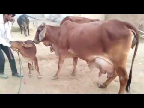 sahiwal cow for sale. navjeevan agro