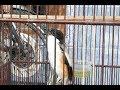 Suara Santai Burung Cendet Untuk Pancingan Cendet Trotol Dan Bakalan  Mp3 - Mp4 Download