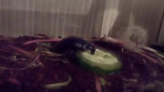 Мадагаскарский Таракан чавкает огурец)