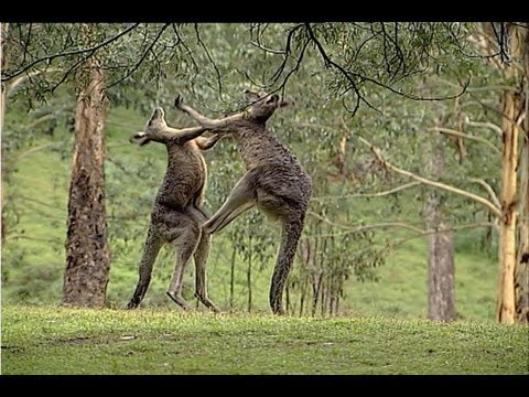 Image result for kangaroos kickboxing