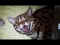 Бенгальский кот Гуся привык к котам и к новой обстановке)) почти...