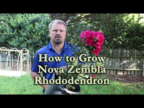 How to grow Nova Zembla Rhododendron with a detailed description