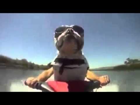 Funny Dog   Jet skiing bulldog
