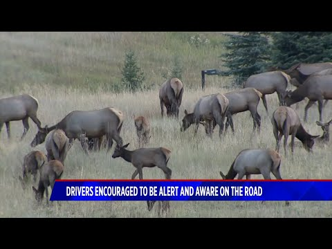 BEARDO - Colorado Drivers need to watch for Elk and Moose during rutting season