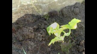 Огород без хлопот  Высаживаем корнесобственные огурцы(Белые тонкие корешки появляются спустя 8 -10 дней. С этого момента рассада готова и её можно высаживать в..., 2015-08-04T16:07:54.000Z)