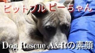 【関連動画】 保健所から来た小さなピットブル ピーちゃん総集編 Dog Re...