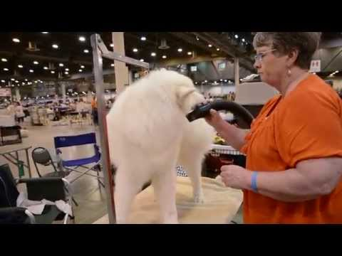 Behind the Scenes: Galaxy Samoyeds at Houston Dog Show, July 18, 2015