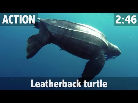 Leatherback Turtle in HD! - ULTIMATE FISHING TV
