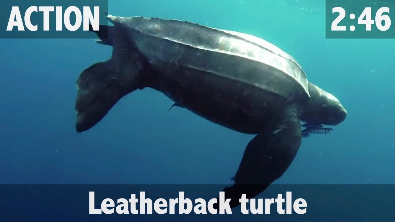 leather back turtle Leatherback turtles are protected under the endangered species act, listed as endangered this means that the leatherback turtle is in danger of extinction throughout all or a significant portion of its range noaa fisheries is working to protect and recover this species in many ways, with the goal.