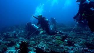 SEAFARI Requins gris de récif (Carcharhinus amblyrhynchos) Maldives 2016