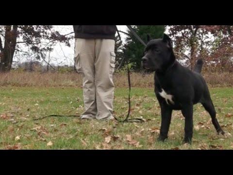 Best Dog Training in Columbus, Ohio! 5 Month Old Cane Corso, Zora!