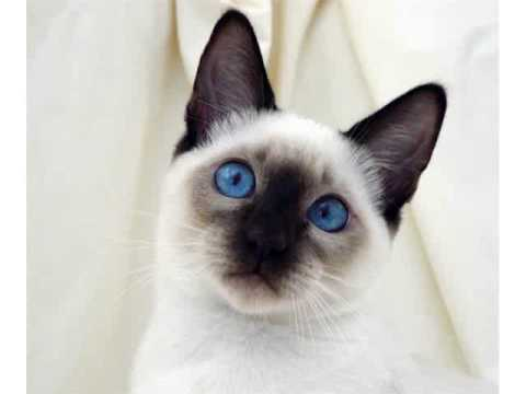 Siamese cat tanzanite blue eyes cats  picture collections