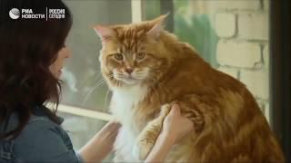 КОТ МЕЙН-КУН. Претендент на звание самого длинного кота в мире.