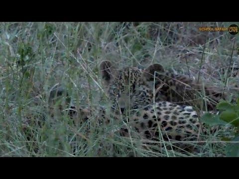 Pt 2 Safari Live's Sunset Safari Drive at 5:30 PM on March 19, 2018 ( Thandi,Cub & Hosana )