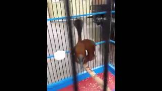 Burung cililin cokelat latihan bunyi