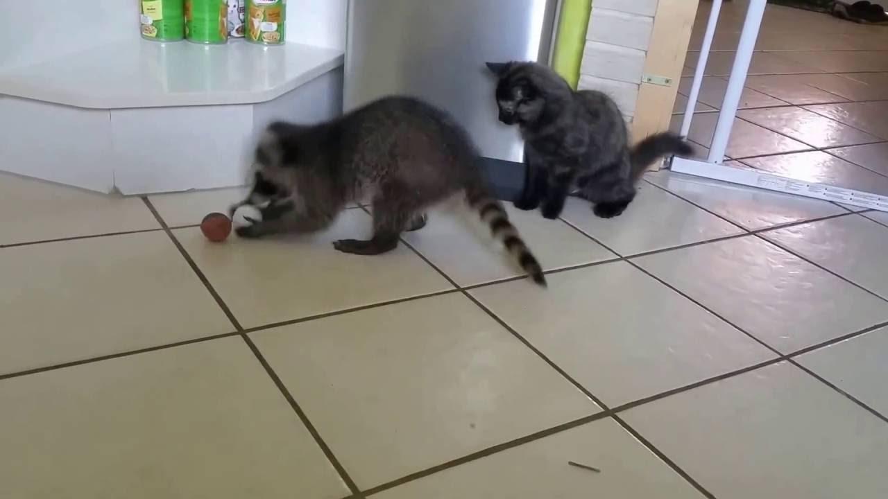waschbaer und katze spielen mit einem tischtennisball youtube