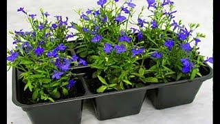 видео Тунбергия выращивание из семян, посадка, уход и фото цветов