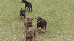 Doberman Pinscher, Puppies, Dogs, For Sale, In Jacksonville, Florida, FL, 19Breeders, Orlando