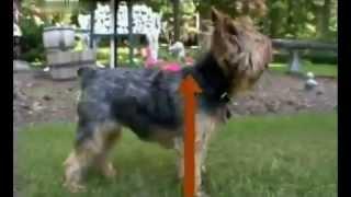 Йоркширский терьер. Породы собак. Dog breeds, funny, funny cats and dogs