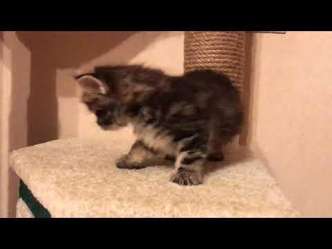 Котёнок породы Курильский бобтейл. Как приобрести породистого котёнка. Рекомендации. Кратко.