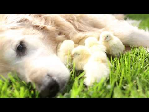 Dog loves Baby Chicks