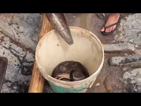 Aal mit hilfe von Bambusfalle fangen